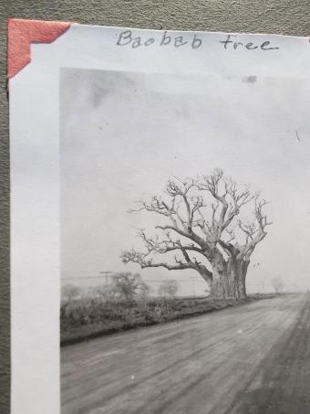 Baobab tree - Senegal